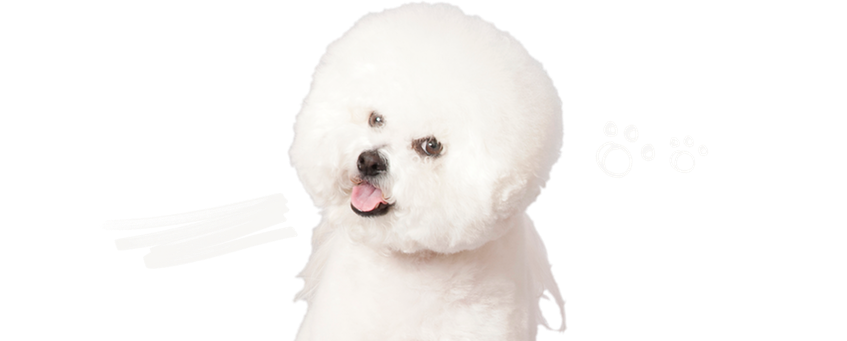 We Love Bichon Frise